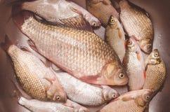 Mensonge de poisson frais dans l'évier avant d'étriper et nettoyer Photo libre de droits