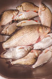 Mensonge de poisson frais dans l'évier avant d'étriper et nettoyer Photo stock