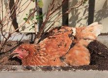 Mensonge de poulet du seau de sol avec du temps de détente Image libre de droits