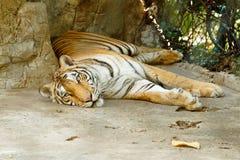 Mensonge de tigre Images libres de droits