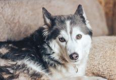 Mensonge enroué de chien triste sur le sofa Photo libre de droits