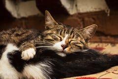 Mensonge et sommeil de deux chats ensemble Photographie stock