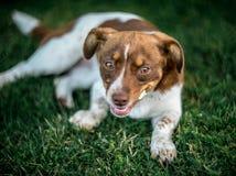 Mensonge heureux de chien Photographie stock