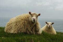 Mensonge islandais de moutons Photographie stock libre de droits