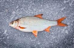 Mensonge récemment attrapé de poisson frais Photographie stock libre de droits