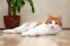 Mensonge rouge et blanc mignon de chat Image libre de droits