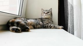Mensonge tigré de chat sur la fenêtre clips vidéos