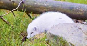 Mensonges blancs et repos de renard arctique au plancher de forêt vers la fin de la chute photo libre de droits