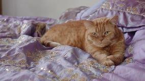 Mensonges britanniques rouges de chat sur le lit tirant des pattes clips vidéos