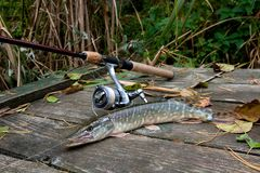 Mensonges d'eau douce d'équipement de brochet et de pêche sur le fond en bois Image libre de droits
