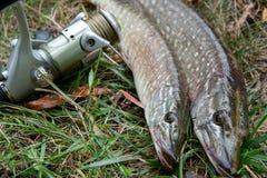 Mensonges d'eau douce de poissons de brochet et d'équipement de pêche sur l'herbe verte Image libre de droits
