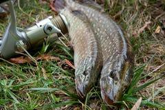 Mensonges d'eau douce de poissons de brochet et d'équipement de pêche sur l'herbe verte Photo stock