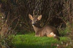 Mensonges de Roe Deer de mâle dans le repos par début de la matinée photo stock
