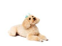 Mensonges et regards de chien vers le haut Caniche de jouet avec une épingle à cheveux images stock