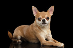 Mensonges mignons de chien de chiwawa sur le miroir et regarder in camera Images stock