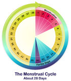 The Menstrual Cycle. Illustration of the Menstrual Cycle on a white background royalty free illustration