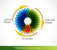 Menstrual cycle calendar. Follicular phase, Ovulation, luteal phase stock illustration