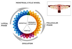 Menstrual cycle calendar and reproductive system. Menstrual cycle calendar. Detailed diagram of female menstrual cycle period. Illustrated female reproductive vector illustration