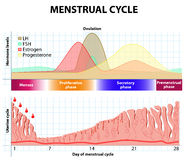 Menstrual cycle. endometrium and hormone. Menstrual cycle. Menstruation, Follicle phase, Ovulation and Corpus luteum phase. endometrium and hormone stock illustration