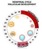 Menstrual cycle graphic, follicules. Menstrual cycle graphic, detailed follicular development illustration, menstruation and ovulation days. Isolated on a white stock illustration