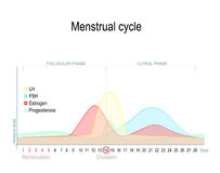 Menstrual cycle. And hormone level. Ovarian cycle: follicular and luteal phase royalty free illustration