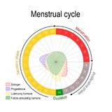 Menstrual cycle and hormone level. Ovarian cycle: follicular and luteal phase. Bleeding period and ovulation. Circular flow chart. Vector diagram stock illustration