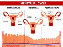 Menstrual cycle. Menstruation, Follicle phase, Ovulation and Corpus luteum phase. Vector diagram vector illustration