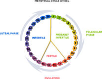 Menstrual cycle wheel. Average menstrual cycle. Follicular phase, Ovulation, luteal phase royalty free illustration