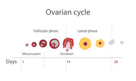 Menstrual cykl Fotografia Stock
