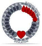 Menstruations- cirkulering Arkivfoton