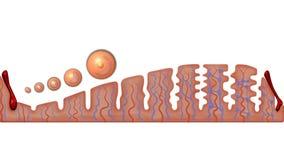 Menstruations-, Follikelphase, Ovulations- und Corpus luteum-Phase vektor abbildung