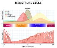 Menstruations-, Follikelphase, Ovulations- und Corpus luteum-Phase Endometrium und Hormon Lizenzfreie Stockbilder