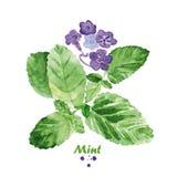 Menta de la acuarela con las flores Ejemplo realista pintado a mano imágenes de archivo libres de regalías