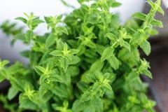 Menta Menta Menta dei cespugli fogli di verde Menta fresca Tè utile Giardino Un letto di fiore Foto orizzontale Immagine Stock Libera da Diritti
