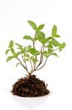 Menta della cucina, Marsh Mint (cordifolia Opiz della menta.). Albero su fondo bianco. Immagini Stock Libere da Diritti
