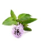 Menta di fioritura Fotografie Stock Libere da Diritti