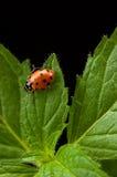 Menta e signora Bug Fotografie Stock Libere da Diritti