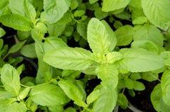 Menta piperita, menta della cucina, Marsh Mint (cordifolia Opiz della menta.). Immagini Stock Libere da Diritti