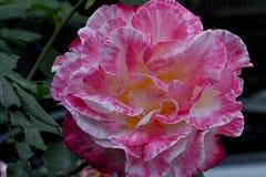 Menta piperita Rosa fotografie stock
