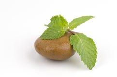 Menta piperita, salvia, menta della cucina, Marsh Mint (cordifolia Opiz della menta.) Immagini Stock Libere da Diritti