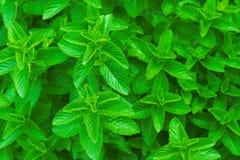 Menta verde del ~ della menta fresca, menta peperita Fotografia Stock Libera da Diritti