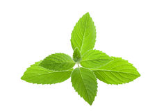 Menta verde fresca Fotografía de archivo libre de regalías