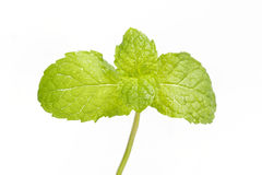 Menta verde isolata Fotografie Stock Libere da Diritti