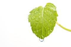 Menta verde isolata Fotografie Stock
