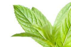 Menta verde isolata su bianco Fotografia Stock Libera da Diritti