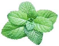 Menta verde o menta en el fondo blanco Visión superior foto de archivo