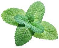 Menta verde o menta en el fondo blanco Visión superior imagenes de archivo