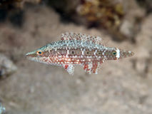 Mental wrasse. In red sea Stock Photos