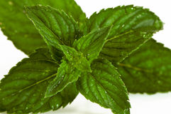 Mentha (also known as mint) Stock Photo