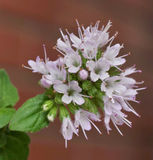 Mentha aquatica - Detail of inflorescence Royalty Free Stock Photo